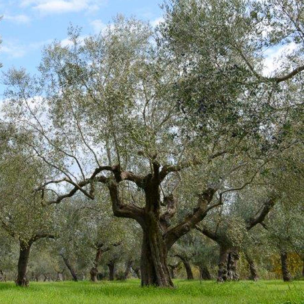 Smuk ældre olivenlund
