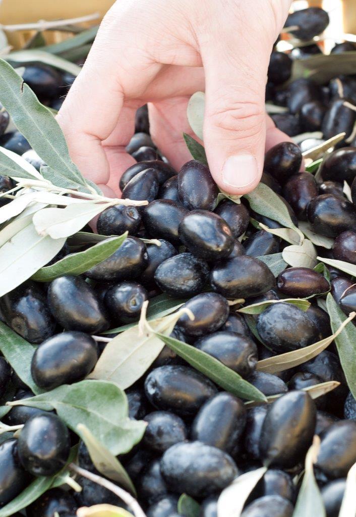 Nyhøstet Kalamata oliven (bemærk størrelsen)