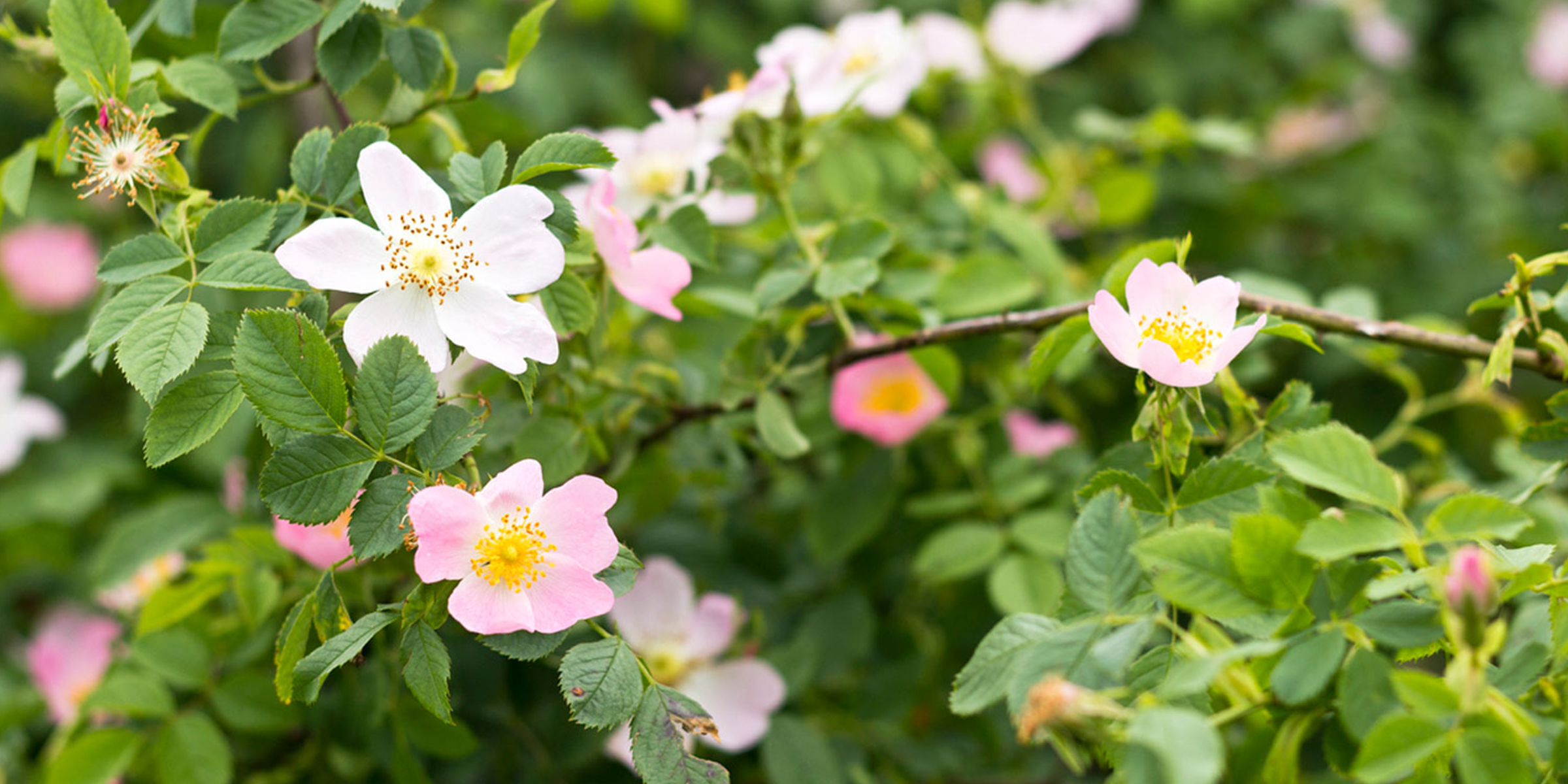 Wild Rose used for tea