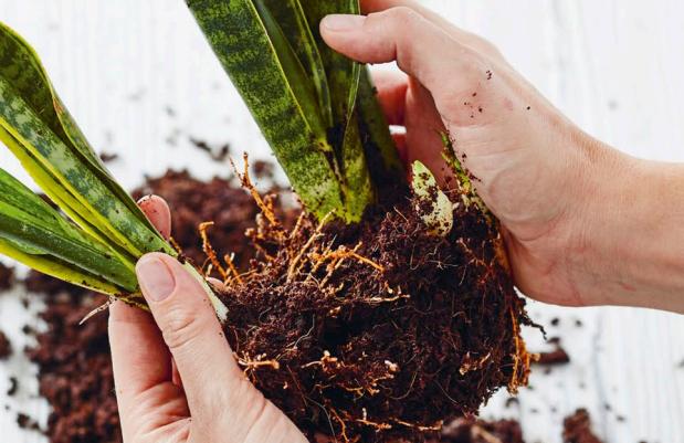propagate snake plant