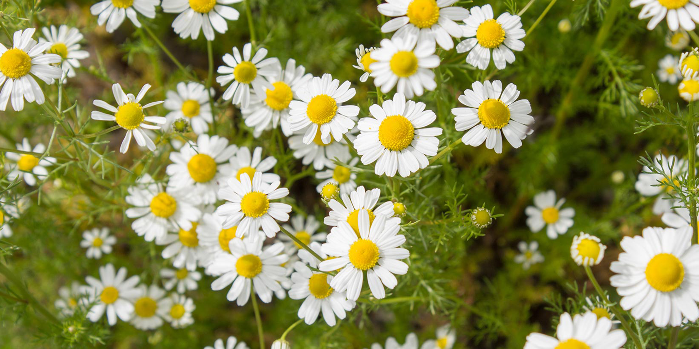 chamomile for ms