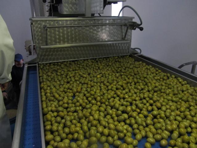 Økologiske grønne oliven klar til sortering.
