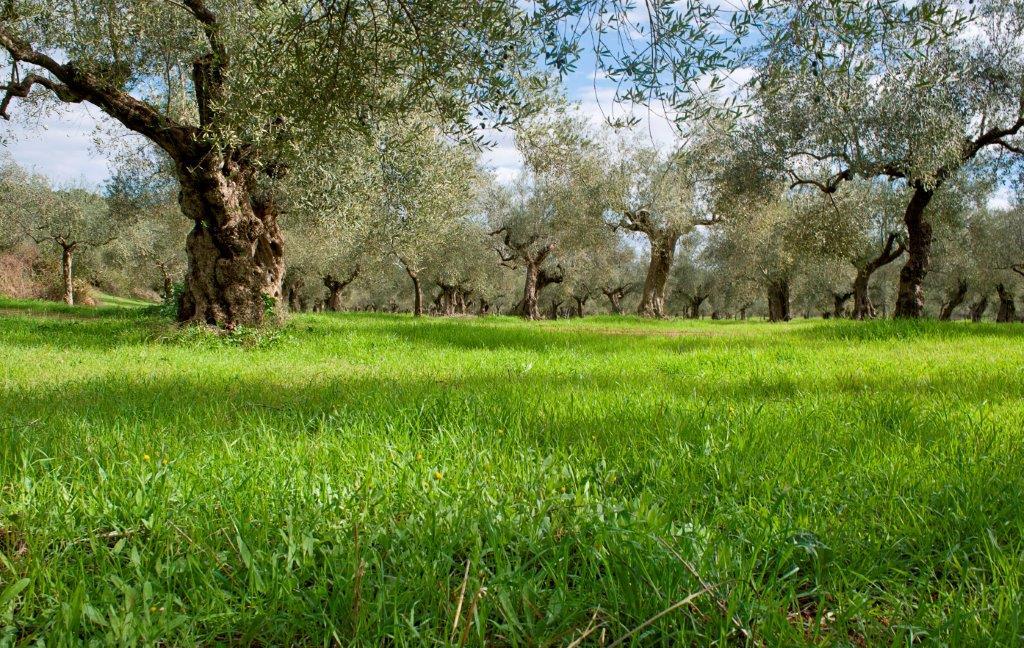 Olivenlund ved Kalamata