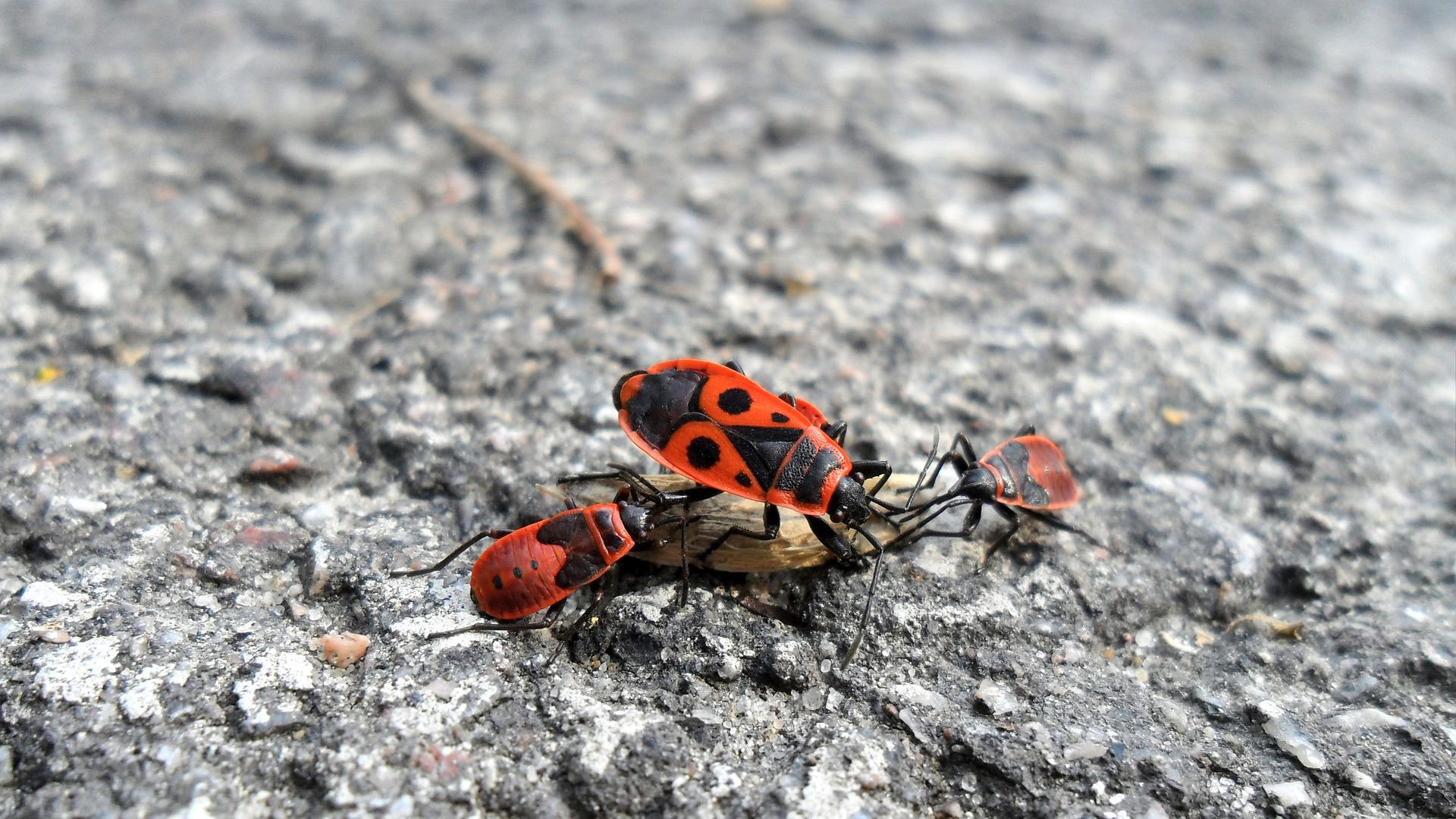 Firebugs eten een afgevallen zaadje