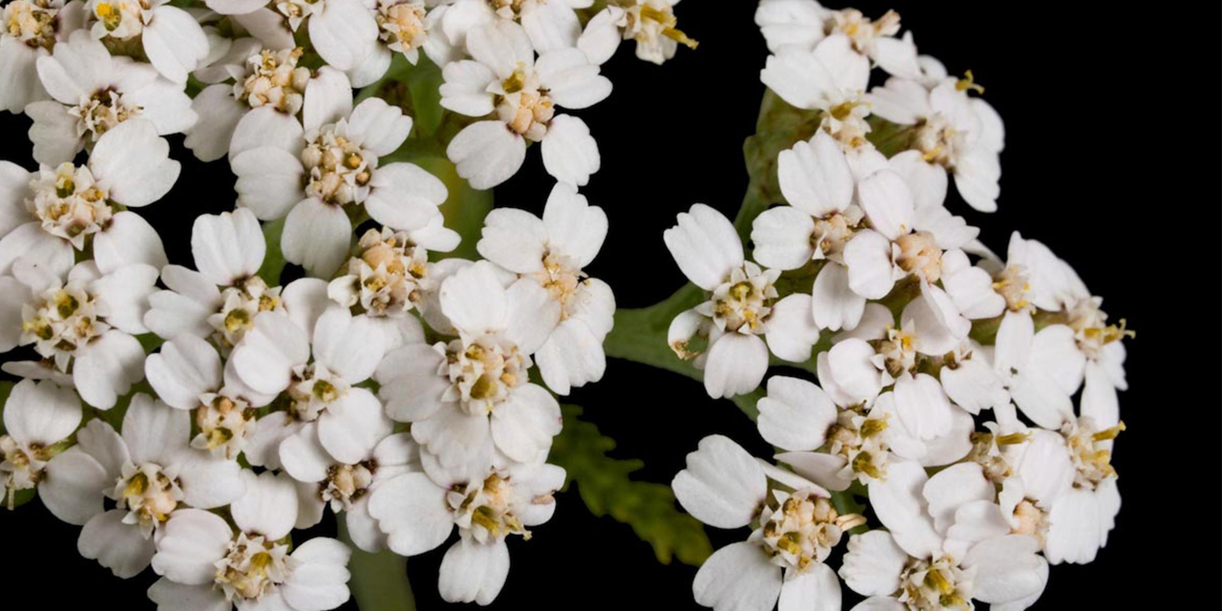 Hummingbird Blossom: medicinal plants the native used