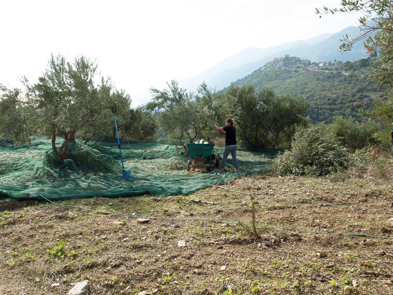 Oliven høst